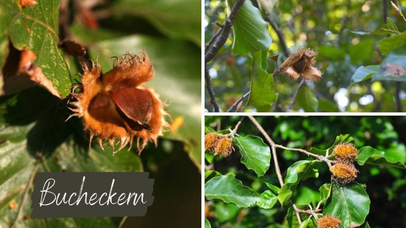 Bucheckern – die Früchte der Buche – sind nur geröstet zu empfehlen