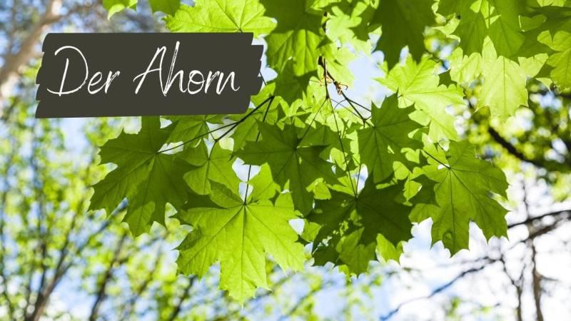 Der Ahorn bietet Ahornsaft, Samen und Blätter zum essen