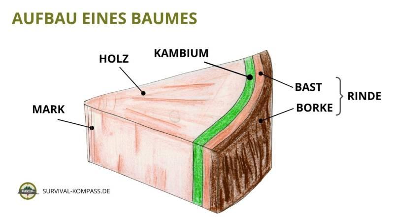 Neues Gewebe bildet sich ausschließlich im Kambium. Die dünne Schicht zwischen Bast und Holz ist zuständig für das Dickenwachstum in einem Gehölz.
