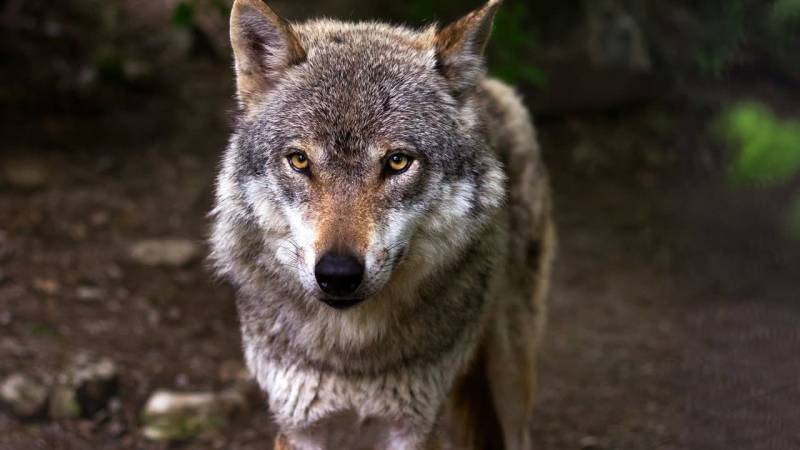 Wie verhalte ich mich bei der Begegnung mit einem Wolf?