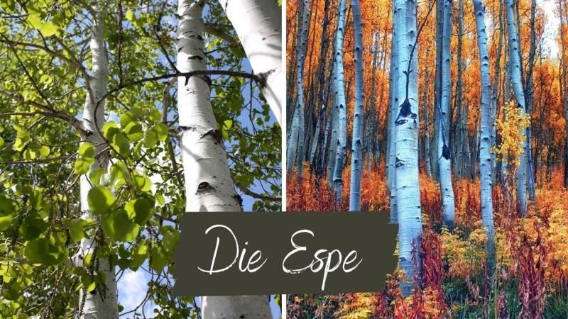 Die Espe, auch Aspe oder Zitterpappel ist für den Feuerbohrer ein gutes weiches Holz