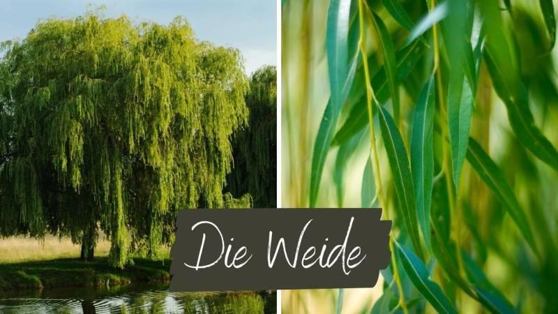 Die Weide bietet Blätter und Kambium zum essen