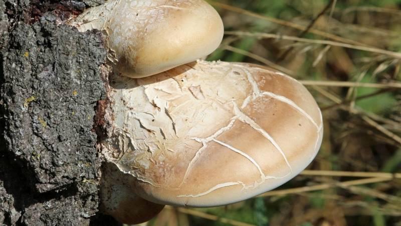 Der Borkenporling ist leicht zu erkennen und wächst immer auf Birken