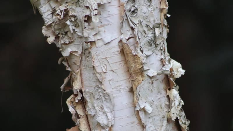 Birkenrinde ist ein Survival-Wunder und eignet sich perfekt als Zunder