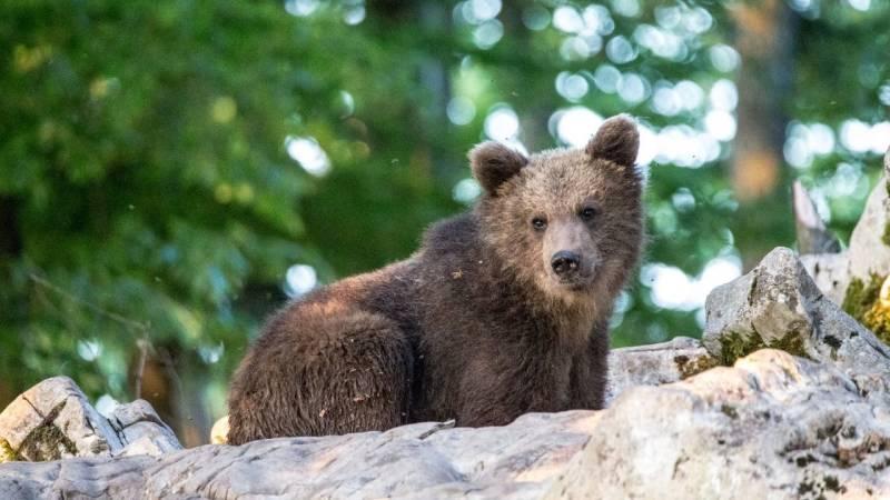 Achte in Slowenien auf Braunbären, Wölfe, Schlangen, Skorpione und Taranteln