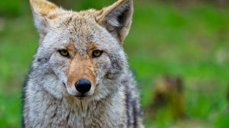 Versetze mit dem Coyote Teaching Menschen in Begeisterung