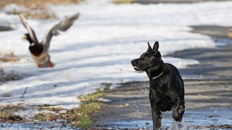 Wildernde Hunde sind eine Bedrohung für den Wald - Jäger dürfen oft ohne Vorwarnung schießen!