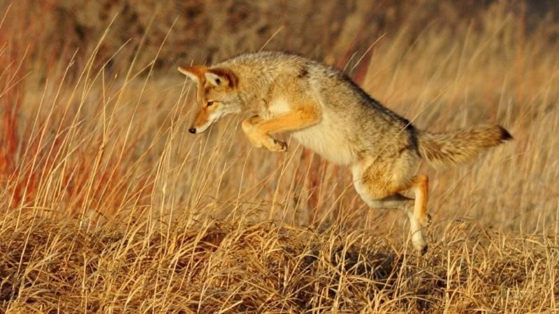 Auch du kannst du Kojoten in dir finden