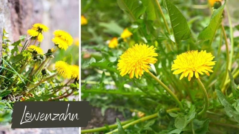 Die Blüten vom Löwenzahn schmecken süßlich nach honig