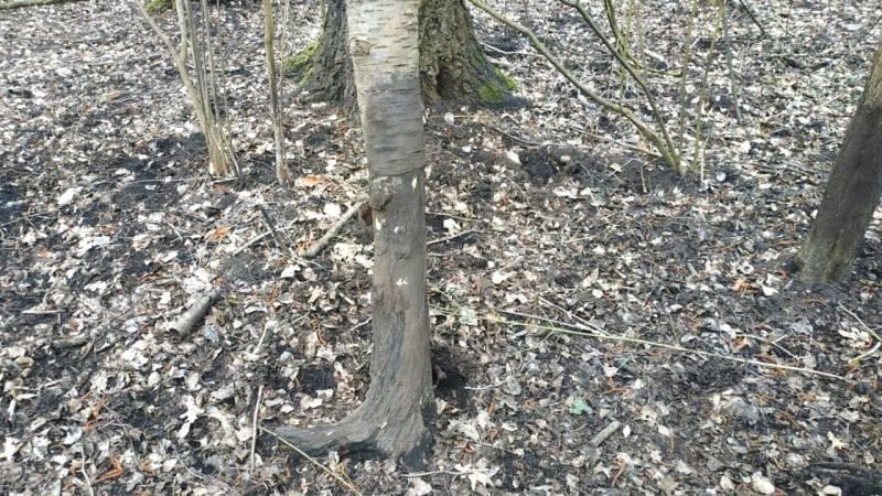 Ein Malbaum (Birke), welcher von Wildschweinen genutzt wurde um sich an der Schwarte zu reiben