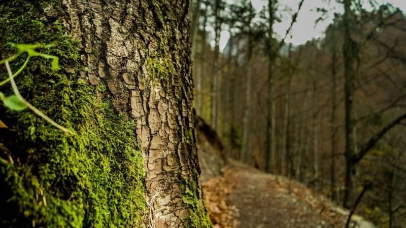Falsch: Moos wächst immer auf der nördlichen Seite von Bäumen