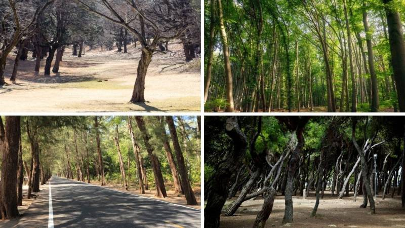 Bäume sind in Europa oft gegen Osten geneigt, weil der Wind überwiegend aus Westen kommt