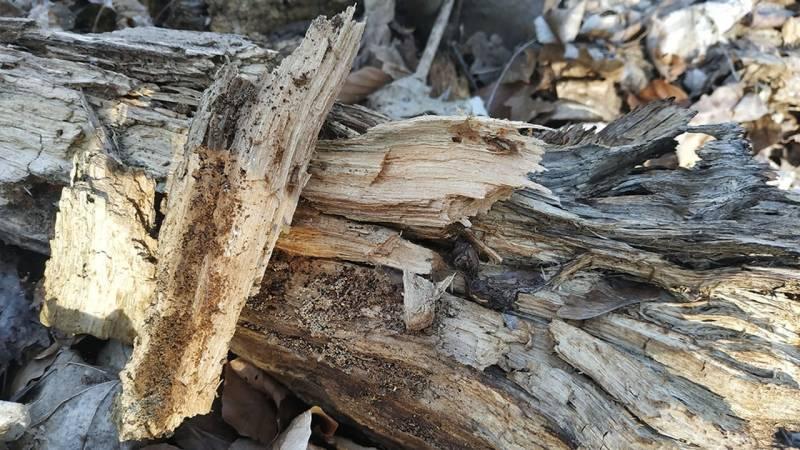 Kannst du das Holz leicht heraus brechen und ist es weich, so hast du Punk Wood gefunden