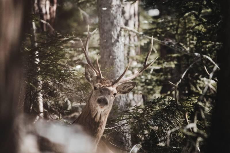 Ein Hirsch im Wald