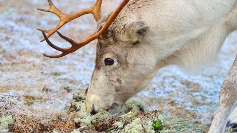 Rentiere ernähren sich in harten Wintern viel von Flechten