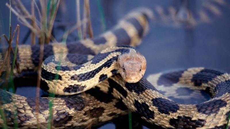 Binde einen Schlangenbiss ab und sauge ihn nicht aus - dadurch steigerst du nur das Infektionsrisiko
