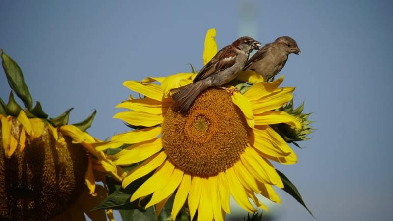 Spatzen essen gerne Sonnenblumenkerne, die auch für uns Menschen genießbar sind