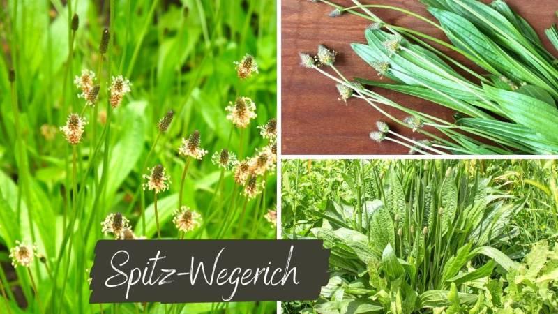 Der Spitz-Wegerich ist eine wunderbare Nahrungsquelle und wächst fast überall