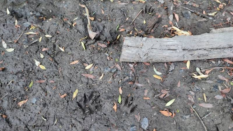 Die Abdrücke – also Trittsiegel – von einem Wachbär