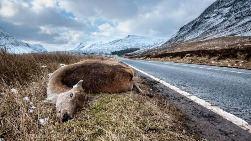 Ist es sicher, ein Wildunfall oder Roadkill zu essen?