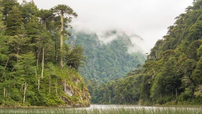 Der Valdivianische Regenwald ist der einzigste Regenwald auf der Welt mit einem gemäßigten Klima