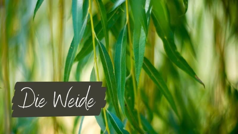 Die Weide – der Baum zum Flechten