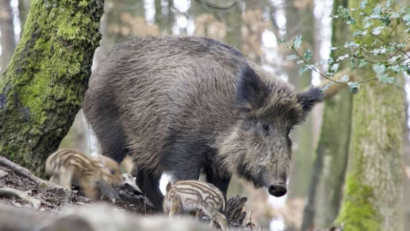 Wie verhalte ich mich bei Wildschweinen richtig?