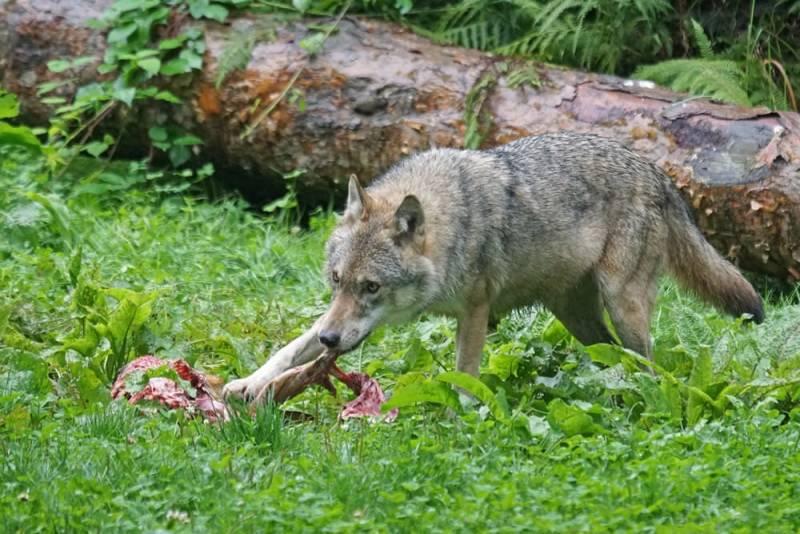 Wolf Riss